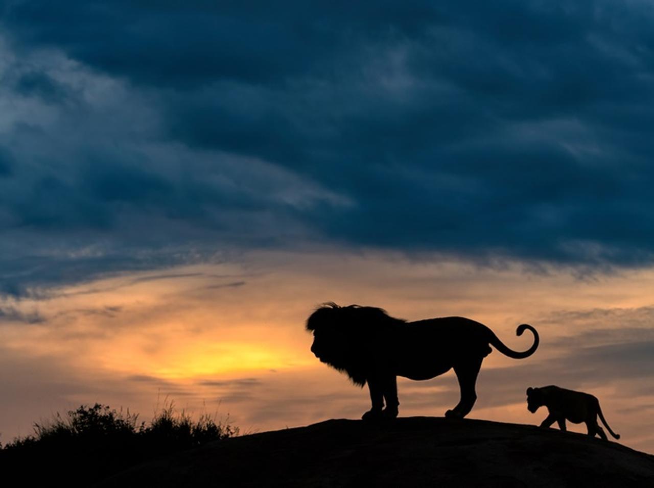 ライオンの画像 p1_20