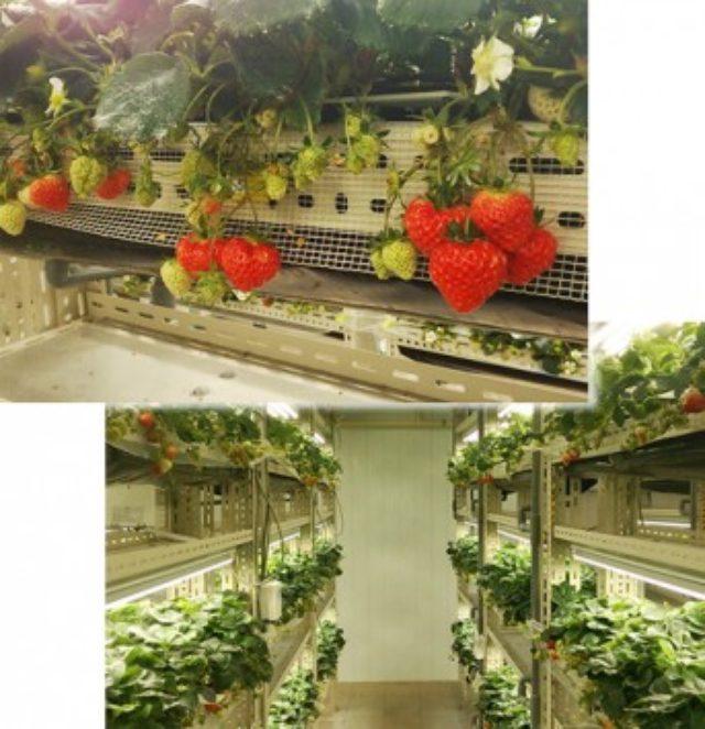 画像: いちごカンパニー オフィシャルサイトの画像。世界初の閉鎖型植物工場でのイチゴ栽培の様子 www.15company.jp