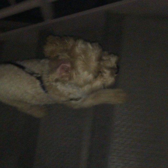 画像: 第二のキラ アニーちゃん #デスノート #愛犬 #トイプードル #マルチーズ instagram.com