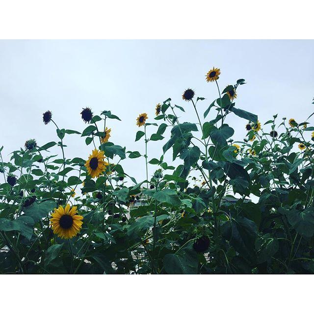 画像: 蝉の鳴き声×向日葵×青空 #2m越え #自然 #夏 #summer #今年の夏休み #大人しく #来年の為に #温存 # www.instagram.com