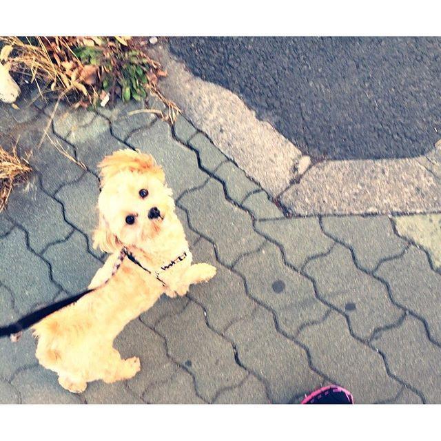 画像: 最近、一緒にランニングしてくれる愛犬 ただ、こっちを見て走るので前を向いて走って欲しいと思うこの頃。笑 #可愛いから #許す #スピードが上がらない #愛犬とランニング #ランニング #マルプー www.instagram.com