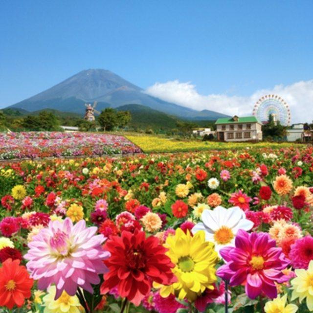 画像1: 「富士山の裾野 天空のダリア祭り 2015」7月18日(土)開幕