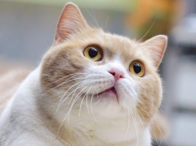 画像: 《クリームあにき》 プロフィール 名前:     クリームあにき(広東語「忌廉哥(ゲイリンゴー)」) 品種:     ブリティッシュ・ショートヘア 年令:     9歳(2015年4月現在) 体重:     7.1キロ(2015年4月現在) 住所:     香港尖東南洋中心地下信和便利店 職業:     新聞スタンドの店長時々スター!?