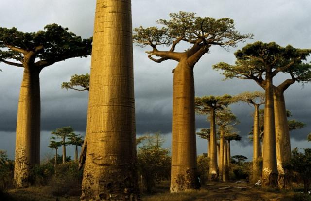 画像: Madagascar.先ほどまでのスコールが過ぎて、夕陽がバオバブを黄金色に染めていく。