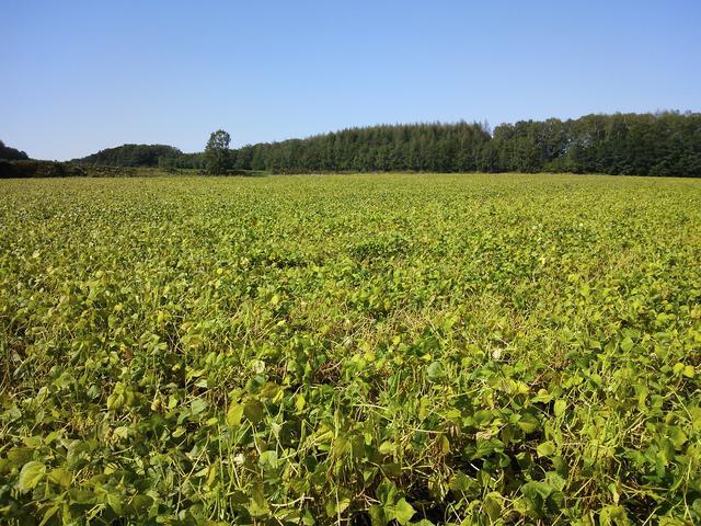 画像: 初夏の北見のあずき畑