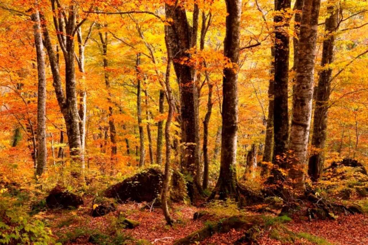 画像: 紅葉の白神山地に津軽笛が響き渡る「世界遺産 白神山地ガイドツアー」登場