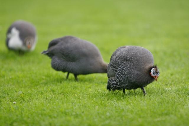 画像: 生後1年以上経過した骨太の鳥と1年に満たない鳥を、メニューによって使い分けます。肉のつき方や脂などが異なる2種のほろほろ鳥を楽しむことができます。