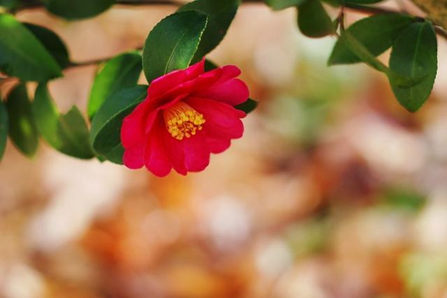 画像1: 美肌の湯から愛でる紅白の椿