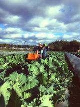 画像2: 誰か食べてください!7日間限定!自家農園で大豊作につきケール祭り開催!