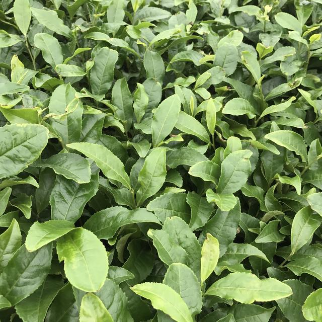 画像: 抹茶は独自の工場で製造される!