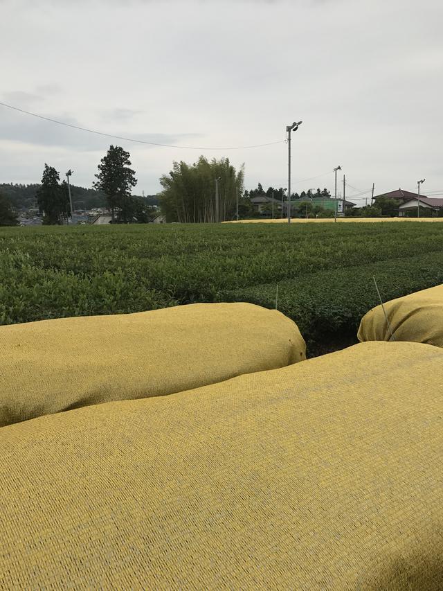 画像: お抹茶になるのは手前の黄色いカバーがかけれられているお茶です。抹茶になる茶葉は一定期間カバーをして育てるのだそうです。