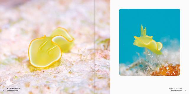 画像: サフランイロウミウシ
