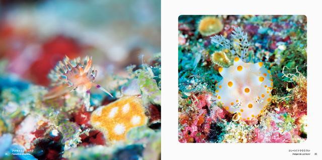 画像: (左)アデヤカミノウミウシ/(右)コンペイトウウミウシ