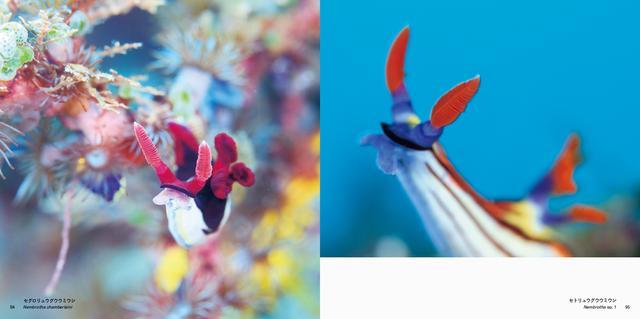 画像: (左)セグロリュウグウウミウシ/(右)セトリュウグウウミウシ