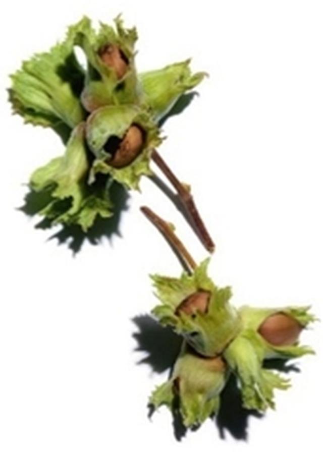 画像: クラランスの植物へのこだわり クラランスが使用しているヘーゼルナッツは、リノール酸やビタミン、ミネラルが大変豊富です。ヘーゼルナッツオイルはもともと酸化しにくいと言われていますが、クラランスはさらに高品質な状態で配合するために、無傷のヘーゼルナッツのみを使用し、低温圧搾法にてオイルを抽出しています。原産地にもこだわり、パルミトレイン酸が豊富なフランス原産のヘーゼルナッツを使用しています。