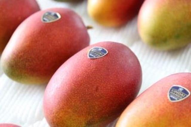 画像: 夏季限定!近大マンゴー販売開始