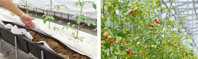 画像: オスミックトマト | 株式会社オーガニックソイル | Organic Soil Co., Ltd.