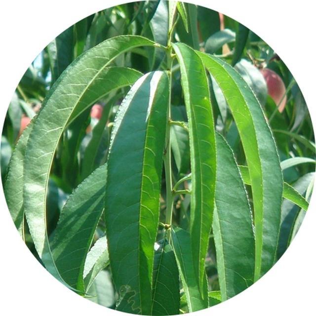 画像: 桃葉エキス 古来から親しまれ、現在ではベビーローションなどにも使われているエキス。 春の敏感な肌を優しく守ります。