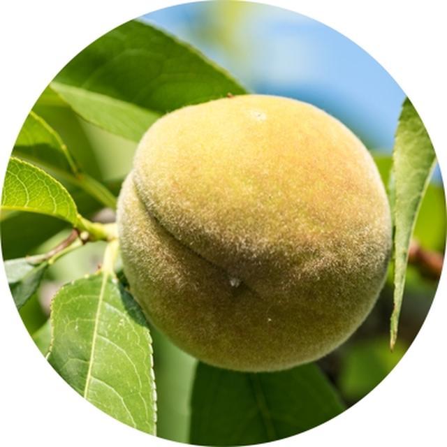 画像: ベビーピーチエキス 完熟前の若い桃には、ポリフェノールなどがたっぷり。国産の早摘み桃を手積みし抽出した希少エキスを配合。