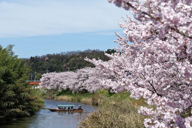 画像: 貸切船でお花見「大聖寺川の川下り」