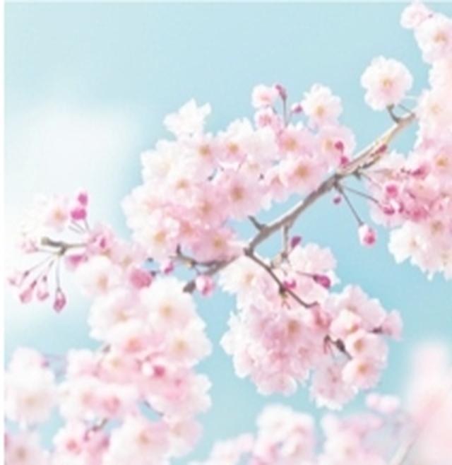 画像: Cherry Blossom スウィートなチェリーブロッサム。ほんのり上気した高揚感のあるような香り。 ※みずみずしい使用感