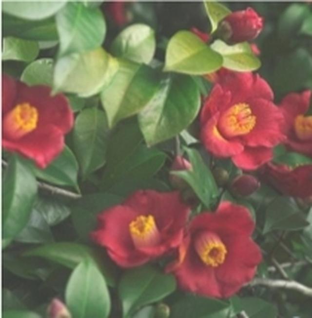 画像: Rich Camellia 奥深くセンシュアルなリッチカメリア。すべてを包み込んでくれるような香り。 ※最もしっとりした使用感