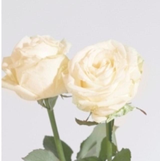 画像: White Rose クリアで透明感のあるホワイトローズ。心までも浄化されるような香り。 ※みずみずしい使用感