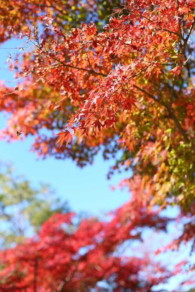 画像: 季節はまさに紅葉真っ只中!11月中は見られそうですよ。