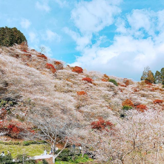 画像2: 桜ともみじが一度に?!コントラストが素晴らしい絶景スポット!