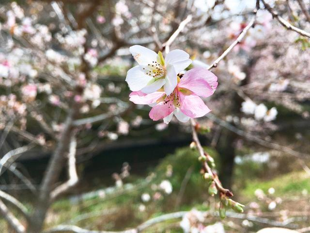 画像1: 桜ともみじが一度に?!コントラストが素晴らしい絶景スポット!
