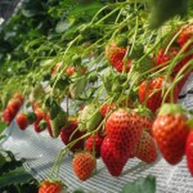 画像: 越谷いちごタウン | みんなで「採りたてのイチゴ」を食べに行こう!