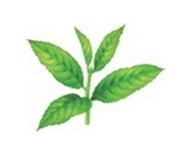 画像: 紅ウーロン茶エキス(ウーロン茶エキス)