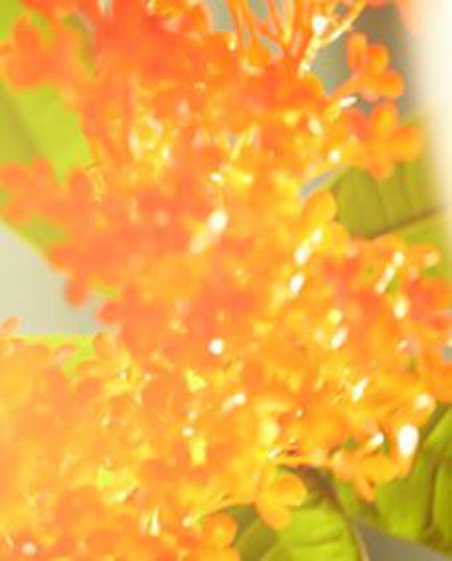 画像: ●スウィートオスマンサスの香り 香調:スウィートフローラル オスマンサスの柔らかな香りに、オレンジフラワーのふくよかな甘さを加え、親しみを感じるぬくもりを。 甘みと苦みのスパイス、軽やかなパウダリースウィートがアクセントになり、ノスタルジックな気持ちへと誘う。エンドノートは深い甘さを効かせ、せつなさも感じる癒しの香り。