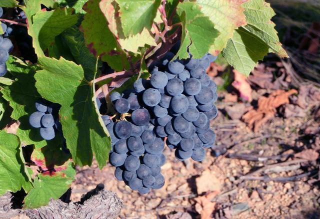 画像: ガメ種の葡萄