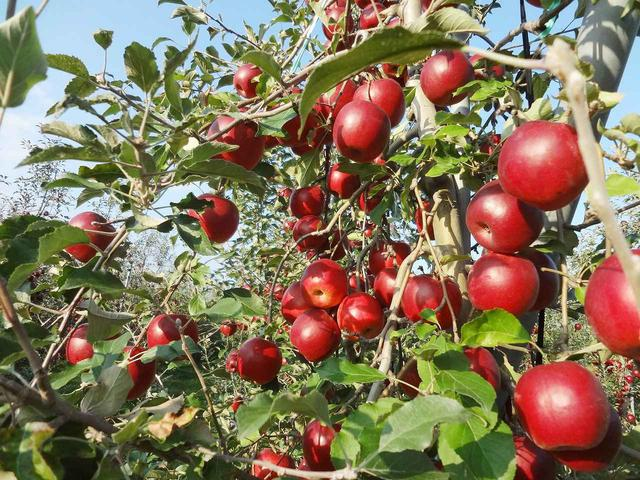 画像2: 今が旬!青森県産のフレッシュなりんごを使用した商品が勢揃い