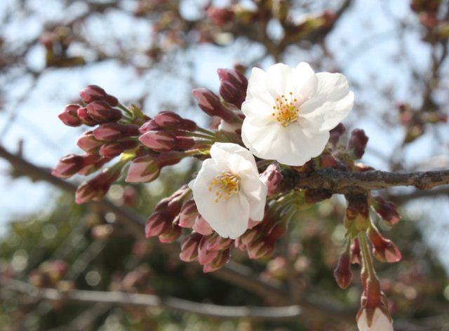 画像: 桜咲きました!