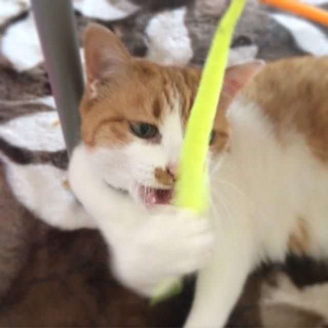 画像: がおおおお。笑  #猫 #cat #ねこ部 #ネコ instagram.com