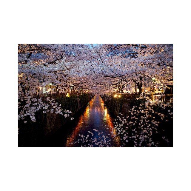 画像: お花見したいなー♡今日風強かったから散っちゃったかなー(╥Д╥ )#桜#お花見#きれい#日本#japan#japanesecherry#instagood #instapic#l4l #f4f instagram.com