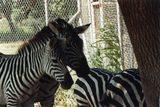 画像: シマウマは保護色だけでなく群れを守る臭いを発する? ja.wikipedia.org
