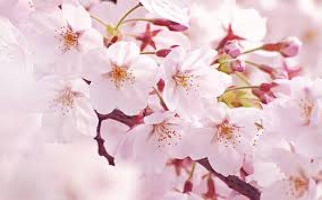 画像: 桜の季節到来ですね!