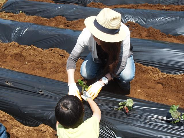 画像2: サツマイモの苗の植え付け作業