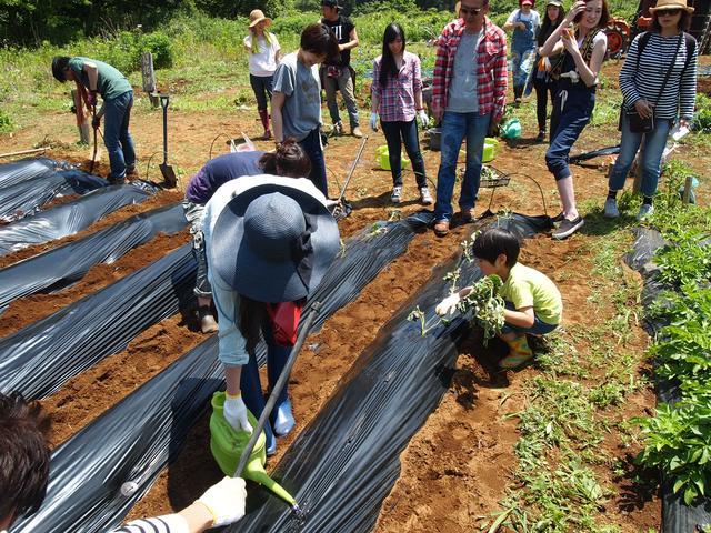 画像1: サツマイモの苗の植え付け作業