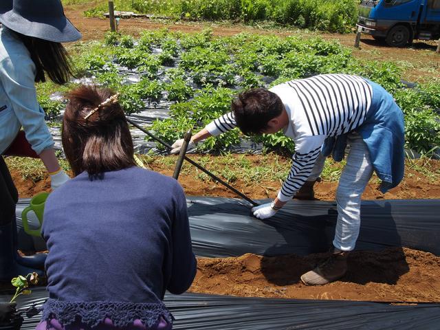 画像: ビニールに等間隔で斜めに穴をあけ、サツマイモの苗を植え付け場所を決める