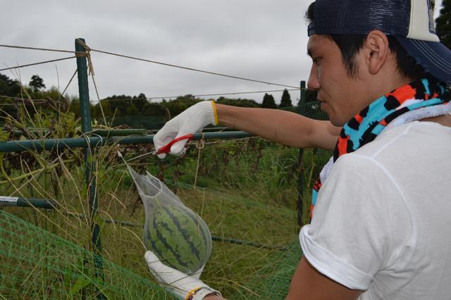 画像1: 鳥ニモマケズ、猛暑ニモマケズ! 甘〜く育った小玉すいかを収穫 Farming Event Report【2015.8.23】