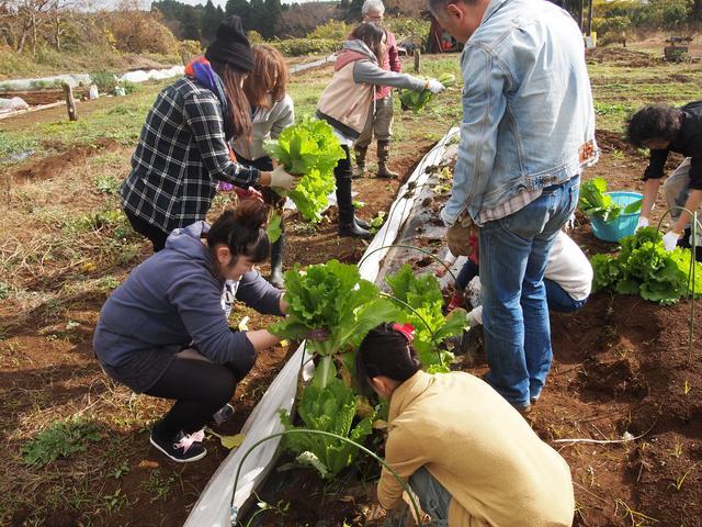 画像2: 軽トラの荷台いっぱいの葉物にビックリ!? Farming Event Report【2014.11.30】