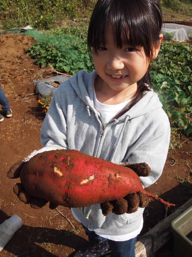 画像2: イモ掘りじゃなくて、イモ拾い? Farming Event Report【2014.10.26】