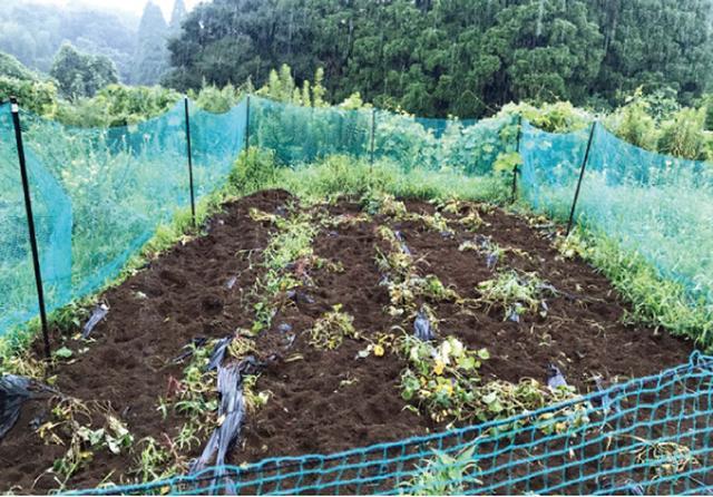 画像: イノシシに荒らされたサツマイモ畑