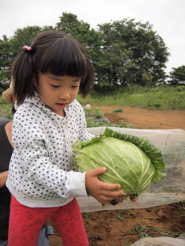 画像1: 春キャベツに空豆の収穫と害獣対策!すでにイノシシの痕跡が…【2018.5.27】