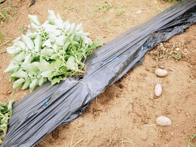 画像: 3月に植え付けをしたジャガイモ畑にイノシシが荒らした痕跡が…