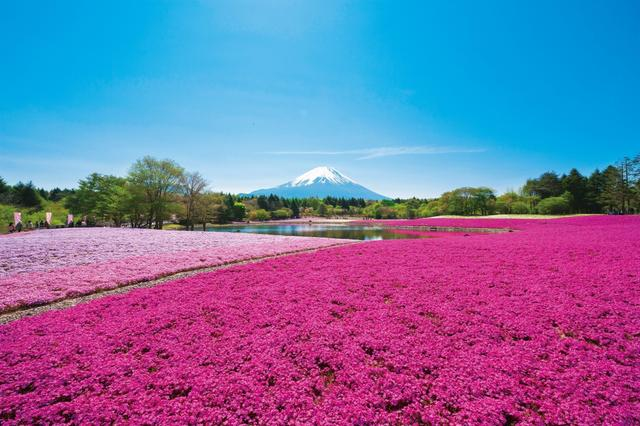 画像: ピンクの絶景にうっとり! 世界も認める日本の絶景「富士芝桜まつり」人気の秘密